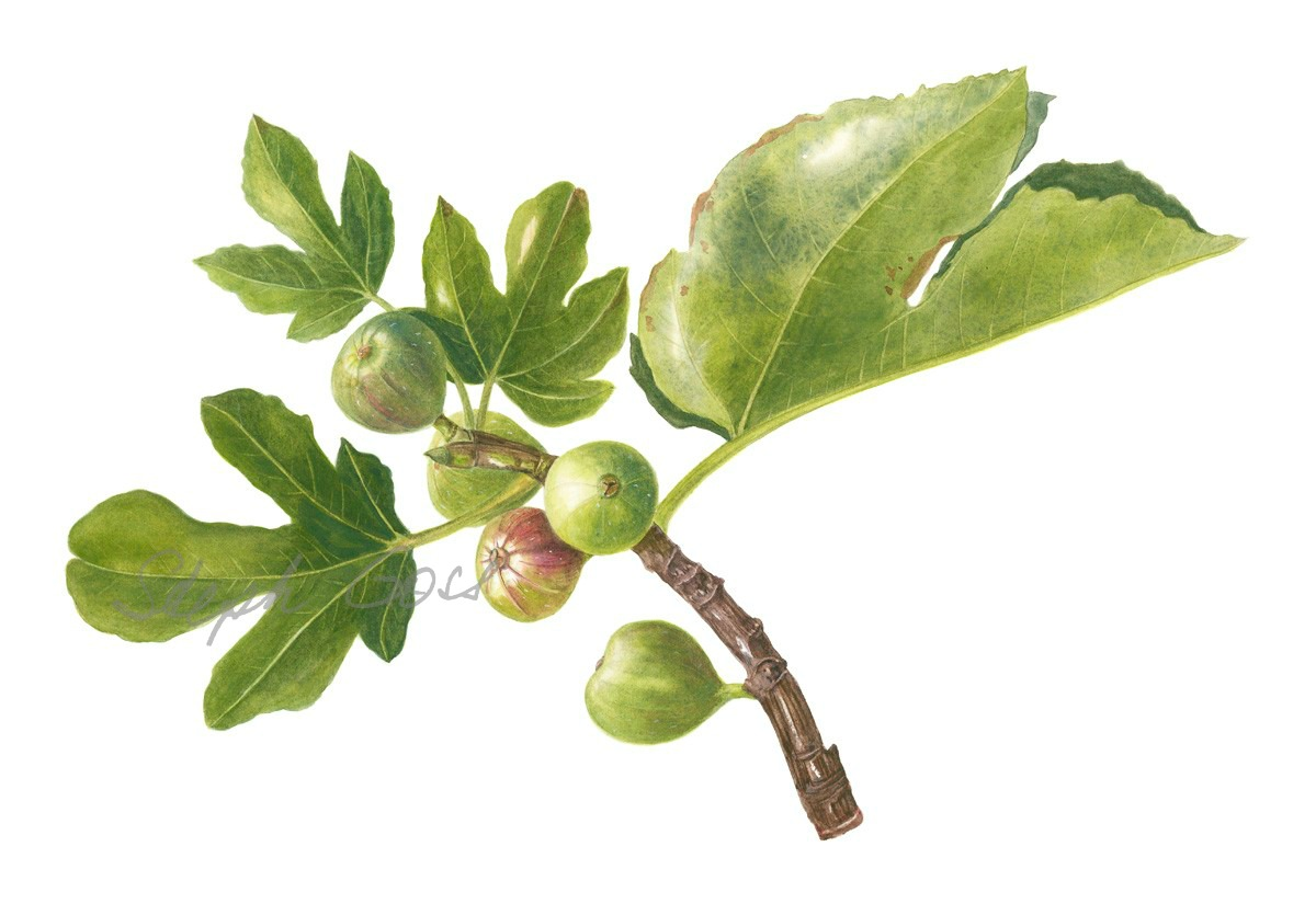 13. Fig