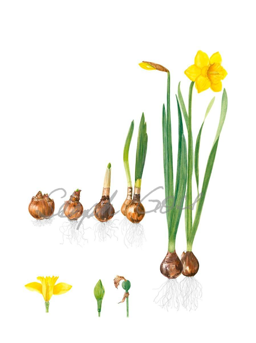 14. Life of daffodil