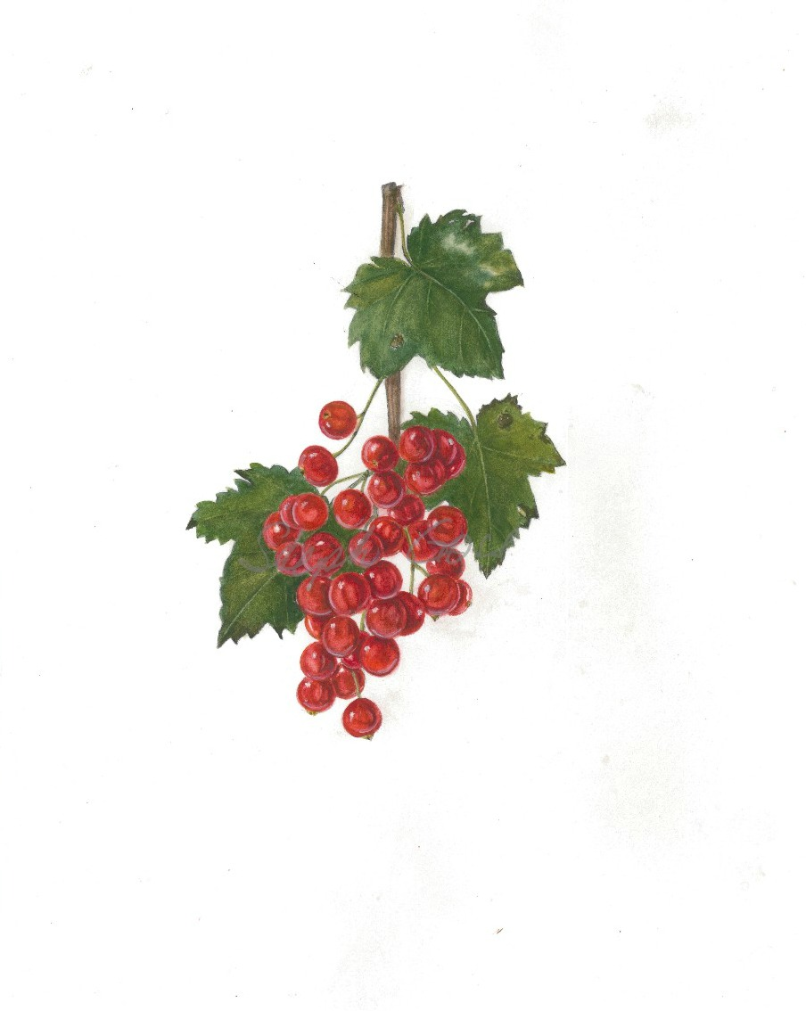 19. Redcurrant bunch