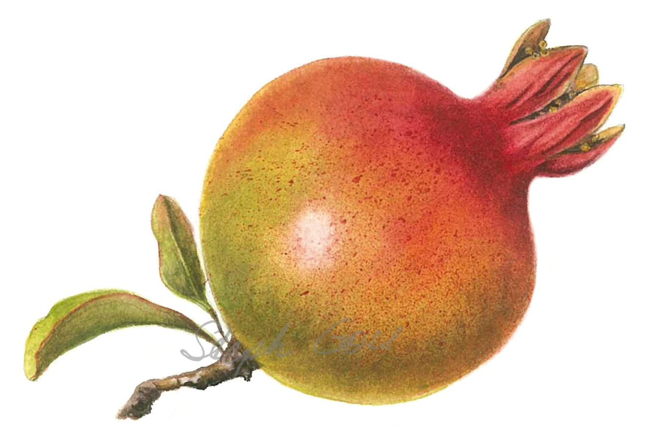 27. Pomegranate