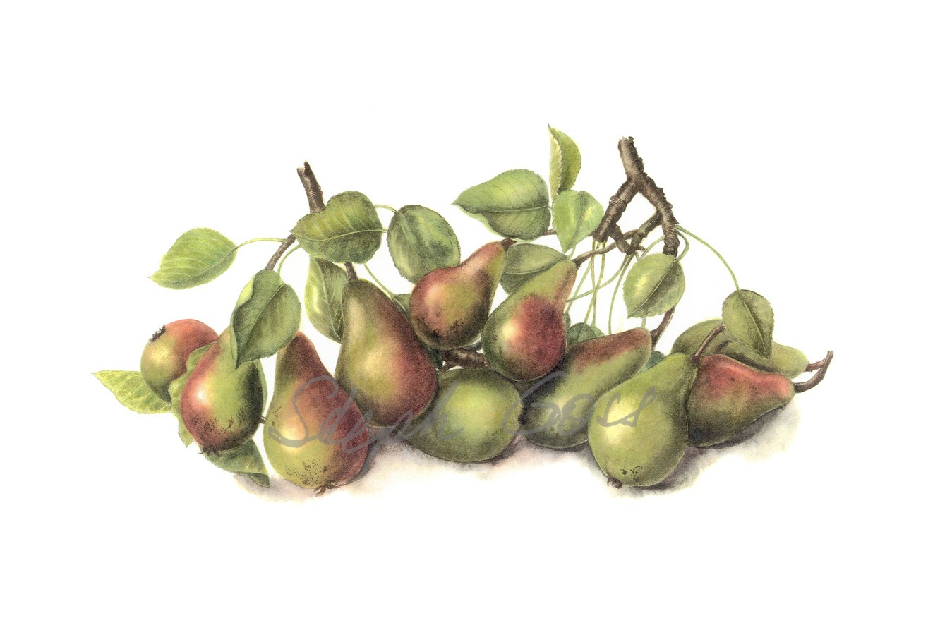 28. Windy Hill pears