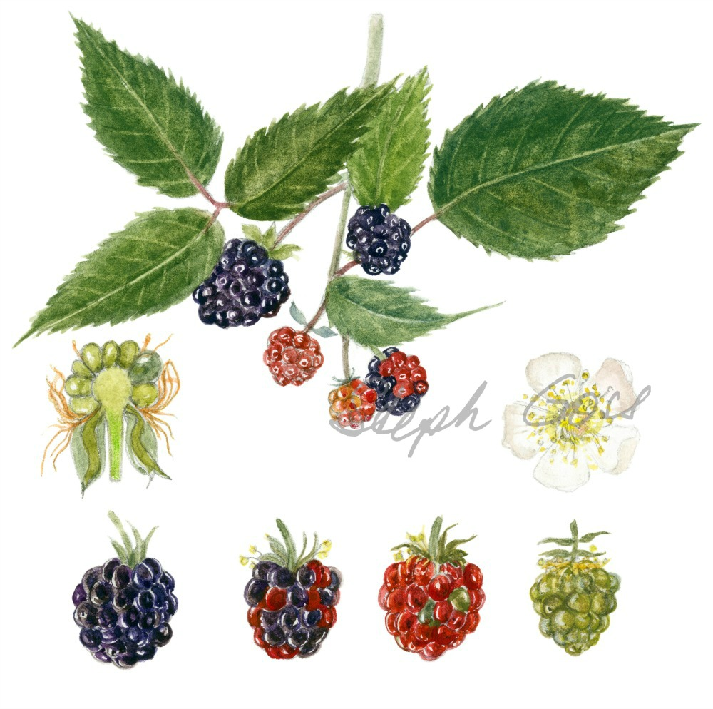 3. Blackberries