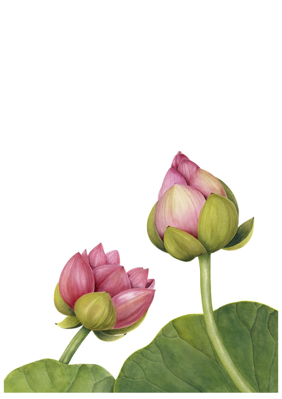 32. Lotus Buds