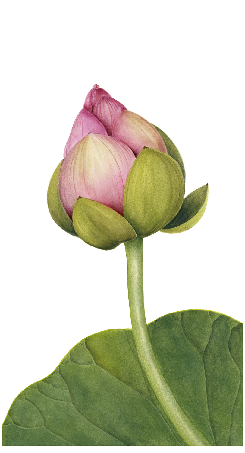 33. Single lotus bud