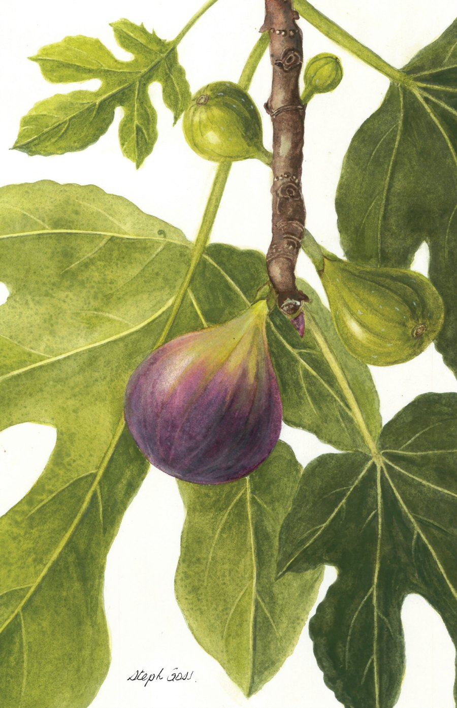 39. Purple fig