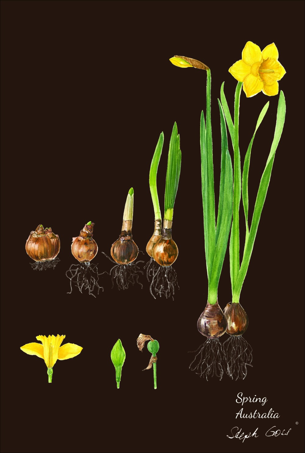 Daffodil bulbs on chocolate