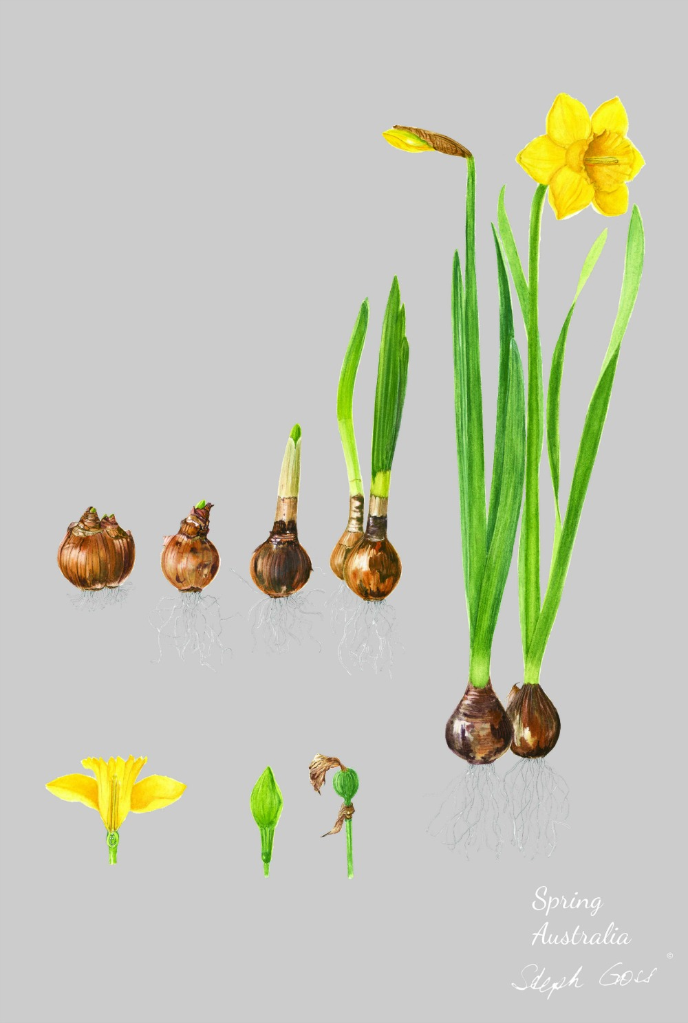 Daffodil bulbs on grey
